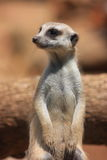 Resting Meercat Royalty Free Stock Photos