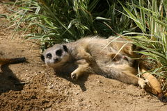 Resting  meerkat Stock Photos