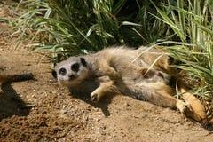 Resting  meerkat Stock Photos