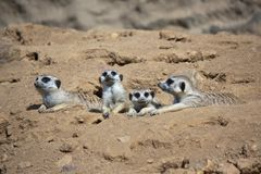 Resting meerkats Royalty Free Stock Photo