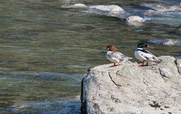 Resting Mergansers Stock Photography