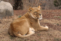 Resting Mom. Lioness resting in afternoon sun Stock Photo