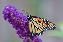 Resting monarch Royalty Free Stock Images