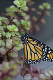 Resting Monarch. A monarch butterfly resting on a plant royalty free stock photos