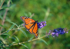 Resting Monarch Royalty Free Stock Photography