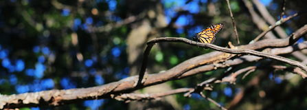 Resting Monarch. Monarch butterfly resting on a tree branch on a sunny day royalty free stock photo