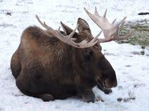 Resting moose in alaska Stock Image