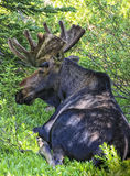The Resting Moose. Bull moose resting in the Wasatch mountains of Utah USA Stock Photos