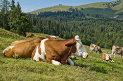Resting Mottled Cows. In the austrian Alps Stock Photography