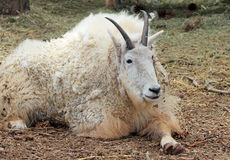 Resting mountain goat Stock Photo