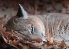 Resting Mountain Lion (Puma concolor) Stock Images
