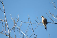 Resting Mourning Dove Stock Photos