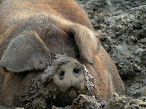 Resting Muddy Pig Face Royalty Free Stock Photos