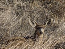 Resting Mule Deer Buck. Image of a young Mule Deer Buck, trying to blend in with his environment. Taken near Lake Pueblo Colorado, in late Winter. The mule deer royalty free stock photography