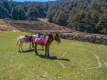 Resting mules Royalty Free Stock Photos