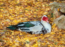 Resting Muscovy Duck Royalty Free Stock Photo