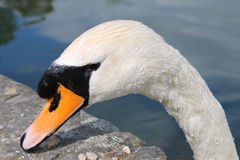 Resting Mute Swan Stock Photos