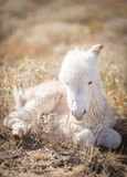 Resting newborn baby donkey Royalty Free Stock Photography