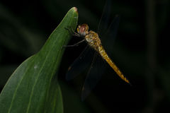 Resting. Night macro/closeup shot of a dragonfly on a leaf Stock Photography