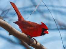 Resting Northern Cardinal Royalty Free Stock Images