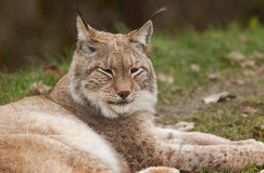 Resting Northern Lynx Stock Photo