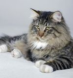Resting Norwegian Forest cat Royalty Free Stock Image