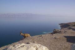 Resting Nubain ibex near the Dead Sea, Israel Stock Image