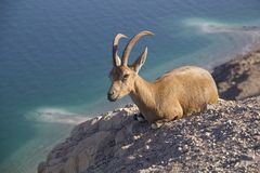 Resting Nubain ibex near Ein Gedi, Dead Sea, Israe Stock Photography