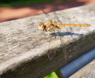 Resting odonata Royalty Free Stock Photography