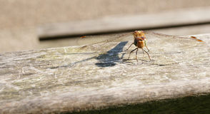 Resting odonata Stock Photos
