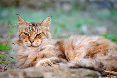 On resting old, scowl cat male Maine Coon Stock Image