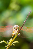Resting orange dragonfly Stock Photo