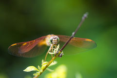 Resting orange dragonfly Royalty Free Stock Photography