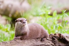 Resting Otter Royalty Free Stock Photography