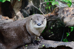 Resting otter2 Royalty Free Stock Photos