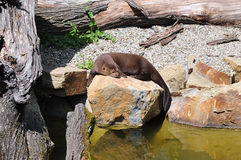 Resting otter Royalty Free Stock Photo