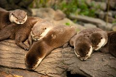 Resting otters Royalty Free Stock Photography
