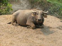 Resting Oxen - Asia Stock Photo