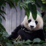 Resting panda Stock Photo