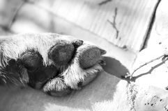 Resting Paw. Close-up of dog`s paw in the sun in black and white Stock Photography