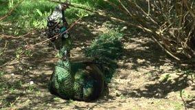 Resting peacocks in bush shades