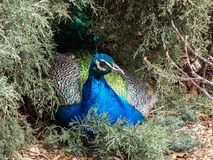 Resting Peafowl in the Evergreens royalty free stock image