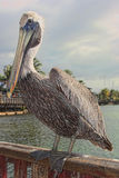 Resting Pelican. Pelican resting on wooden rail Stock Photos