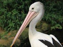 Resting Pelican Stock Image