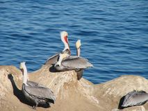 Resting Pelicans on a rock Stock Photos