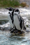Resting Penguins Stock Image