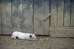 Resting Pig Royalty Free Stock Photos