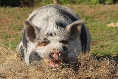 Resting pig. Big pig resting grass front Stock Image