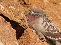 Resting pigeon Royalty Free Stock Photography