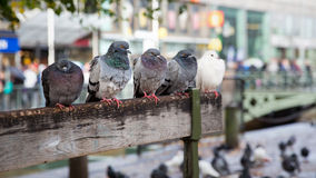 Resting pigeons. Royalty Free Stock Images